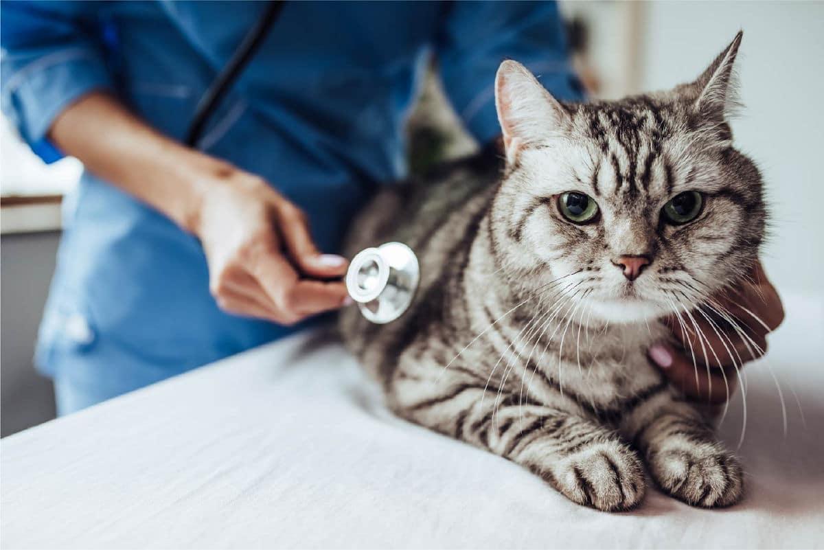 Cat at vet